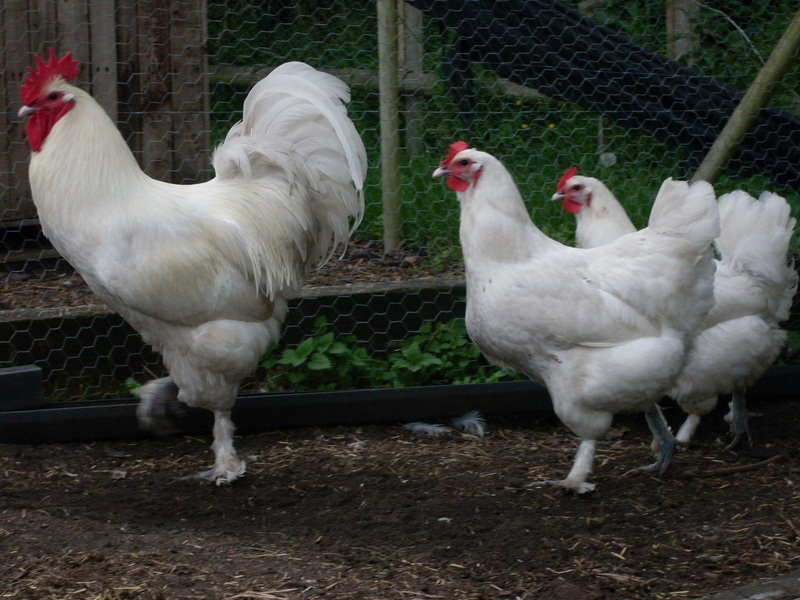 Rare Breed Poultry Photos